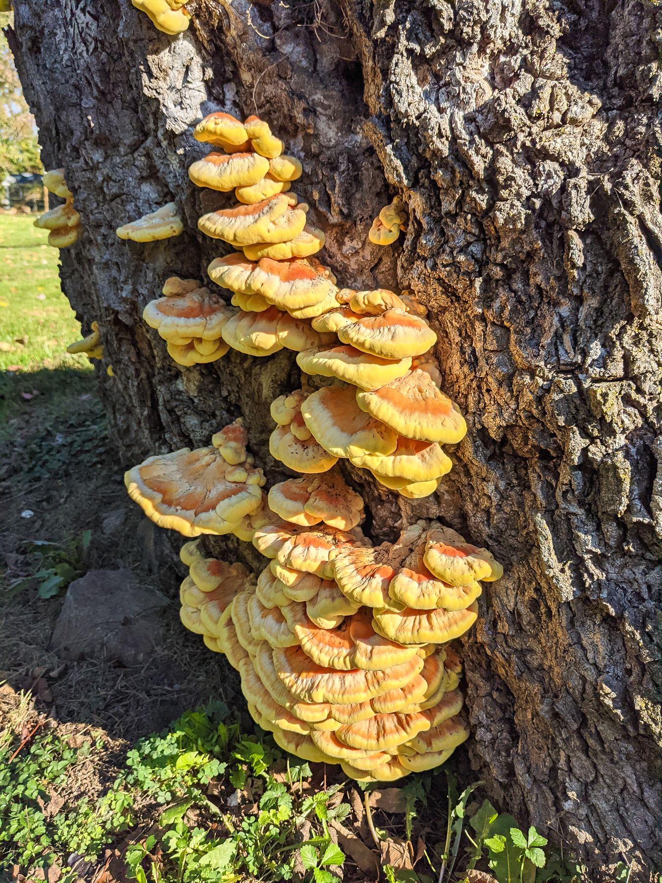 8 Chicken of the Woods Mushroom Recipes